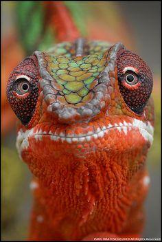 Eyes Chameleon