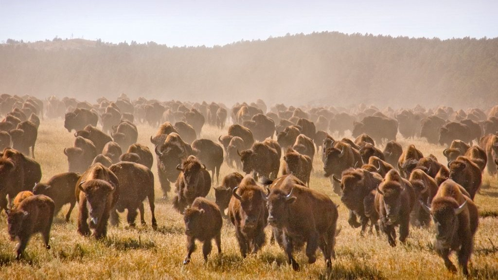 Better get out of the way… stampeding bisons