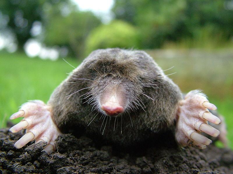 War on Moles